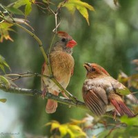Mother Cardinal and young