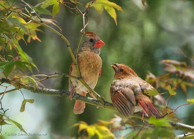 Mother Cardinal and young