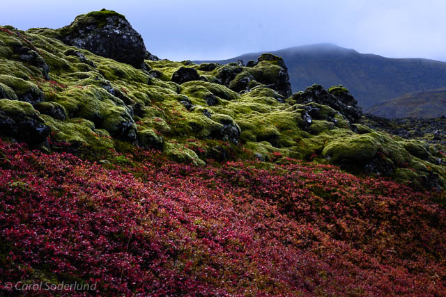 ...the glowing green of moss against the neutral charcoal of the lava beds, sharing space with the dazzling rain-drenched blueberry bushes