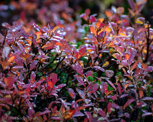 ...a close shot of the backlit blueberry bushes, intermingled with heather