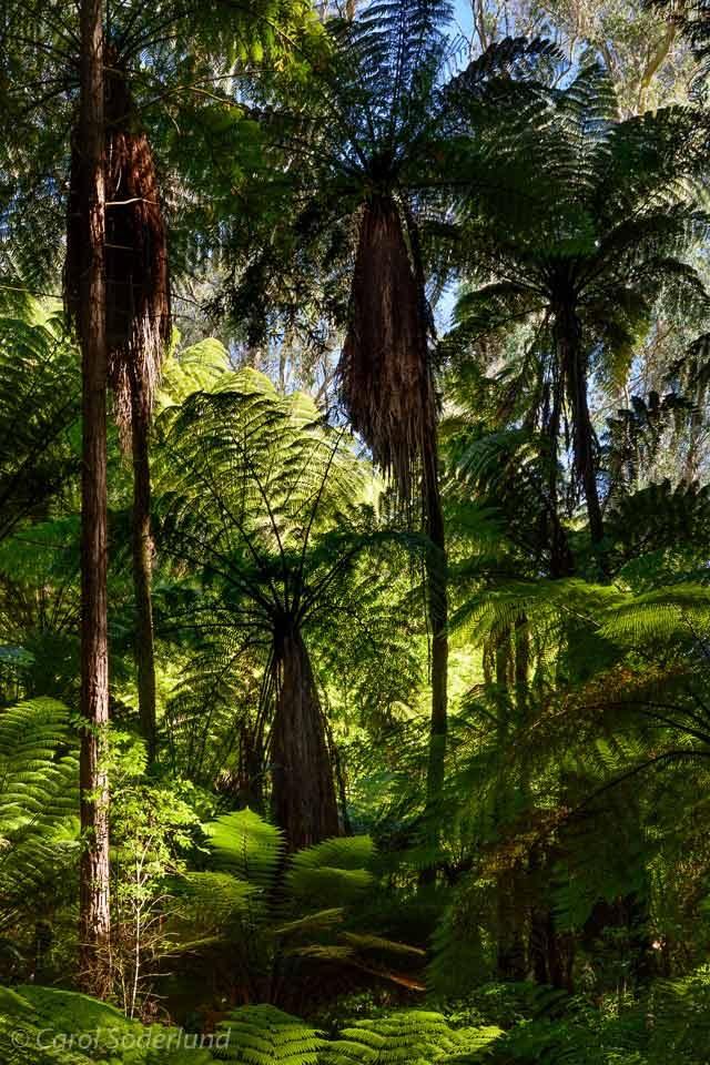 Tree Fern Forest in New Zealand